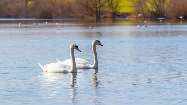 川に浮かぶ白鳥のカップル、愛と忠誠の概念