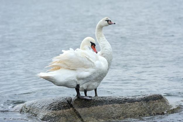 Пара лебедей на камне в море