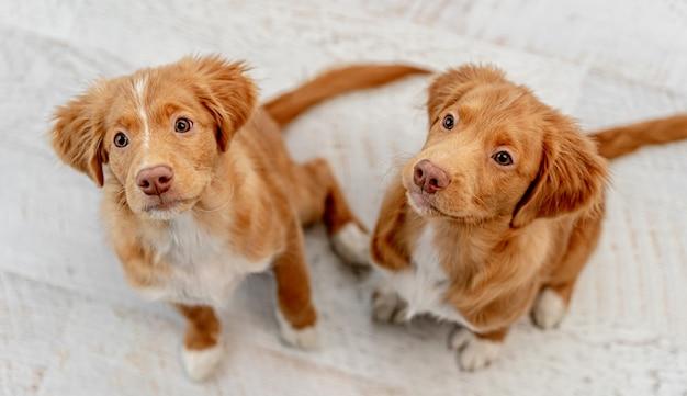 家の床に座って上から見上げる通行料の子犬のカップル