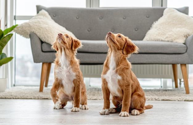 自宅で頭を上げてソファの近くの床に座っている通行料の子犬のカップル