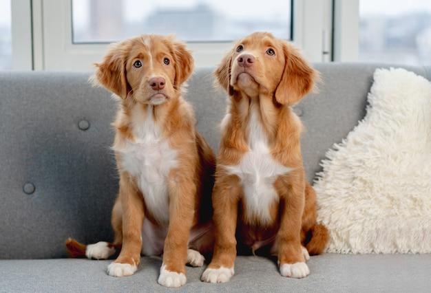 自宅で灰色のソファに座っている通行料の子犬のカップル