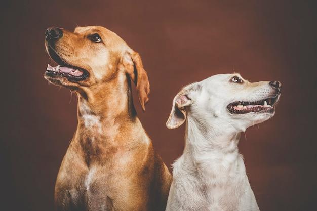 茶色の背景に対してスタジオでポーズをとる2匹の表現力豊かな犬のカップル