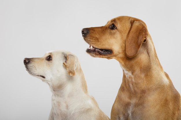 白い背景に対してスタジオでポーズをとる2匹の表現力豊かな犬のカップル