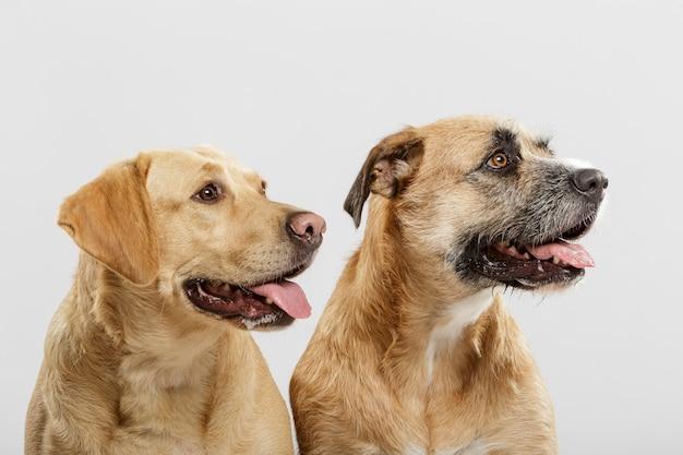 白い背景に対してスタジオでポーズをとる2匹の表現力豊かな雑種犬のカップル