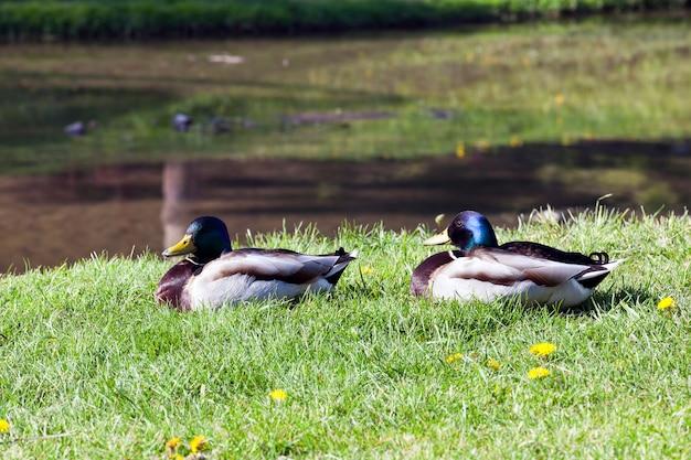 강 근처 잔디에 앉아 야생 오리와 드레이크의 커플
