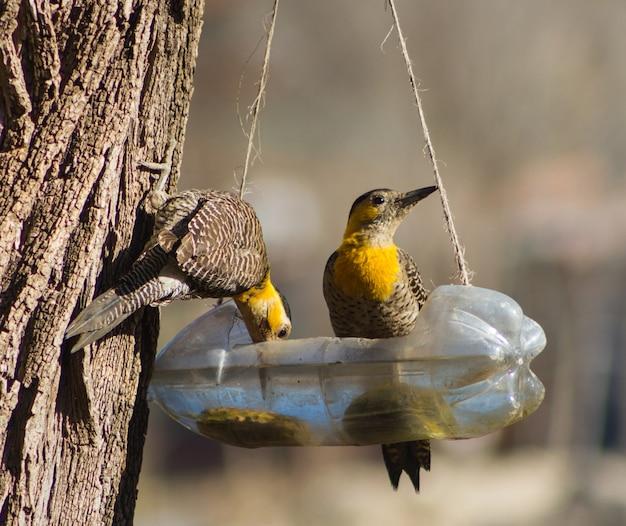 Пара дятлов (colaptes campestris) пьет воду из переработанной бутылки