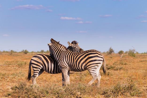 Пара зебр из национального парка крюгера. африканская дикая природа. equus quagga. южная африка