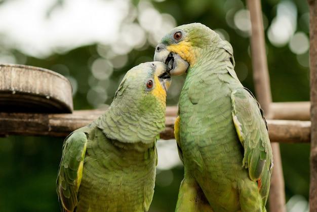 Couple of parrots love kiss