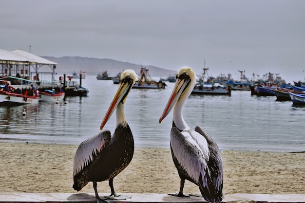 Couple of pelicans in front of the beach in the bay of paracas, perú