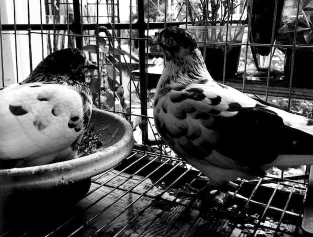 Пара голубей сидит в клетке премиум фото
