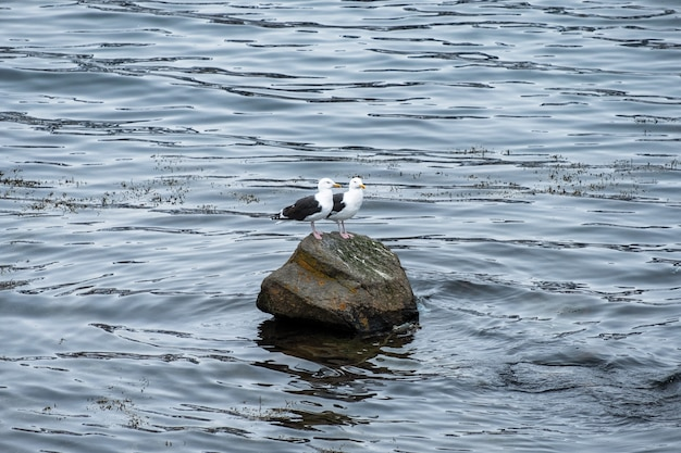 Couple seagull birds standing on rock