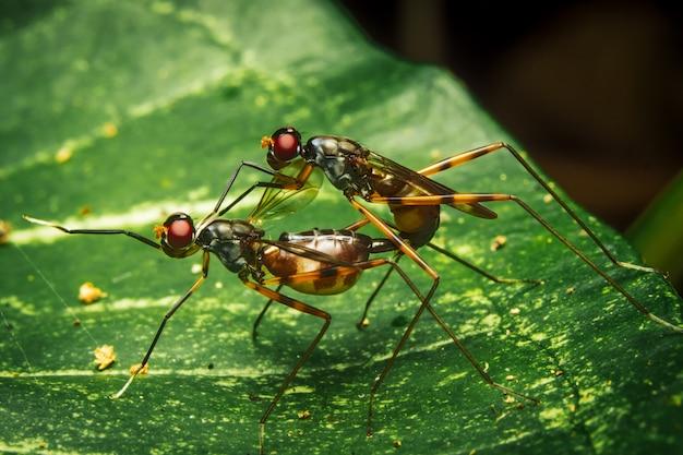 Couple stilt legged flies mating on leaf
