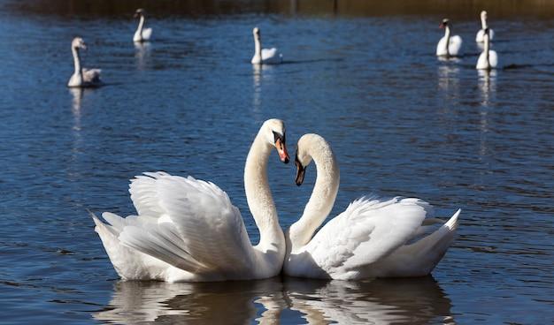 春のカップル白鳥、春の湖の美しい水鳥二羽の白鳥、白鳥と湖または川、クローズアップ