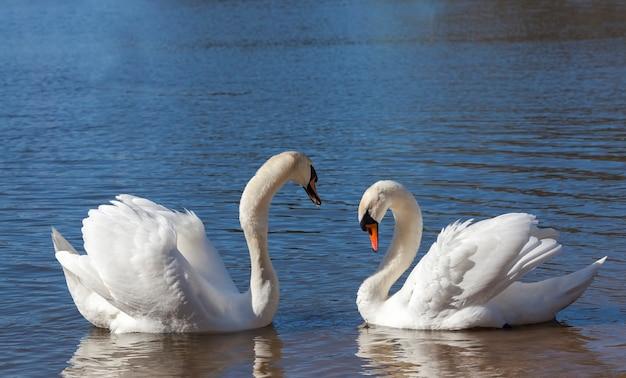 Пара лебедей весной, красивые водоплавающие птицы две птицы лебедь на озере весной, озеро или река с лебедями