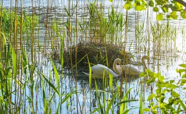 Couple of swans by the nest