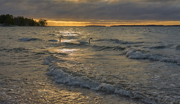 Couple of swans on a waving stormy sea on a sunset.