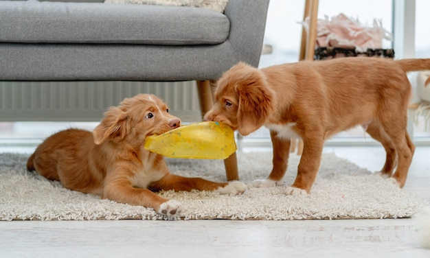 Couple of toller puppies biting broker ball on carpet at home