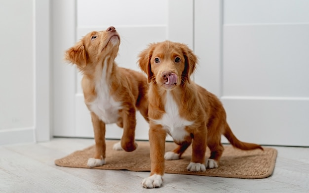 Couple of toller puppies standing on door mat at home