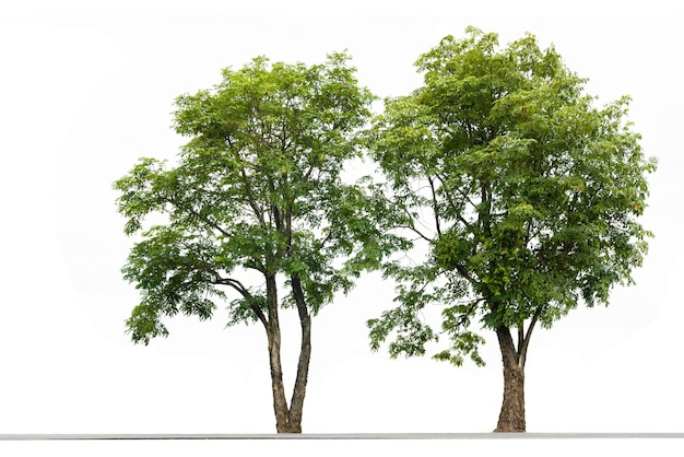 Couple tree on white background