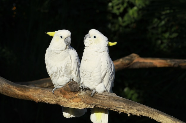 Couple of white parrots in zoo