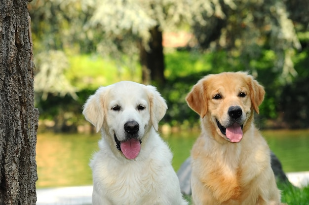 Couple of young golden retriever