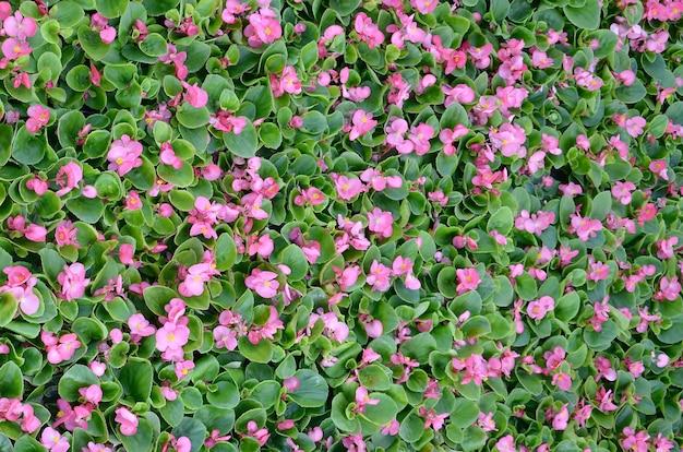 꽃 분홍색 베고니아 꽃의 표지 사진