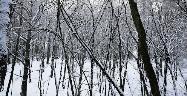 Covered with fluffy snow forest in winter, landscape in cold frosty conditions