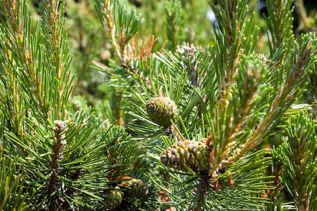 Covered with green needles, spruce with a large number of cones