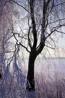 Covered with snow deciduous trees in winter, white snow lies everywhere