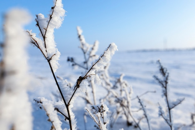 Covered with snow and ice branches of dry grass and plants of large snow storms, against a surface of blue sky, closeup