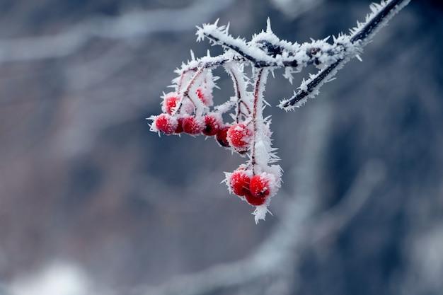 Покрытые густым инеем красные ягоды калины на кусте с размытым фоном