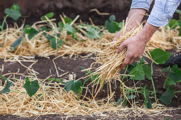 Covering young cucumber plants with straw mulch to protect against rapid drying and control weeds in the garden.