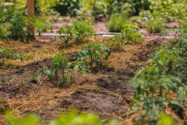 어린 토마토 식물을 짚으로 덮어 빨리 마르지 않도록 보호