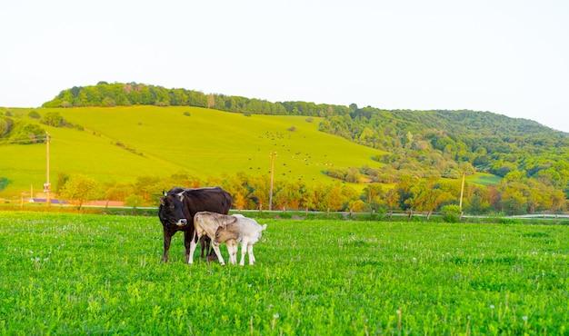 牧草地の牛と子牛