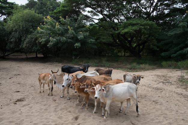 私の農場の牛と牛