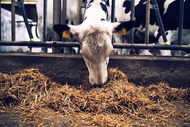 酪農場で干し草や飼料を食べる牛舎の牛。