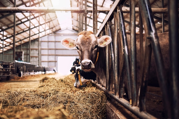 肉や牛乳の生産と畜産のための家畜農場の牛。