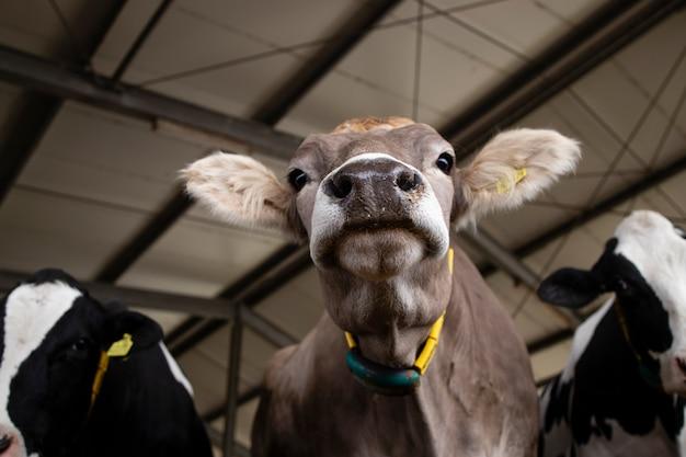 육류 또는 우유 생산 및 축산을 위해 가축 농장에서 소.