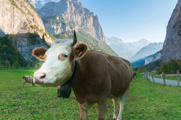 The cow in beautiful alpine landscape green valley, switzerland