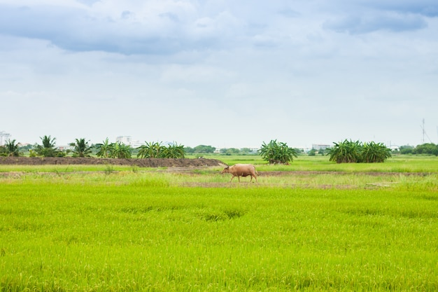 Cow or buffalo walking around on the rice paddy field the farming in thailand countryside