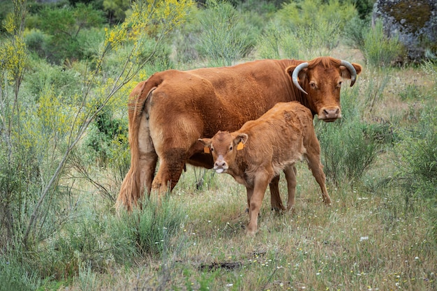 Cow and calf grazing in a meadow.