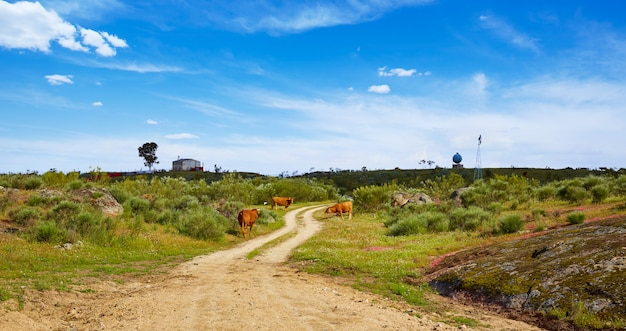 Cow cattle along via de la plata way in spain
