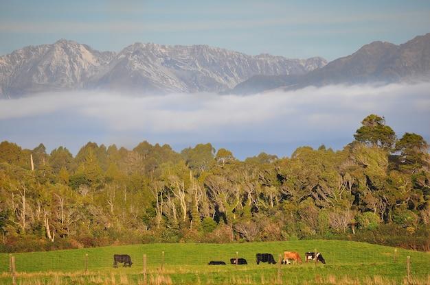 Корова крупного рогатого скота в горах новой зеландии