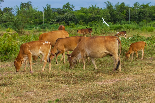Cow eating grass at the field in summer