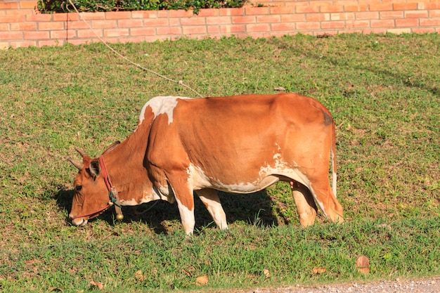 Cow eating grass at the field