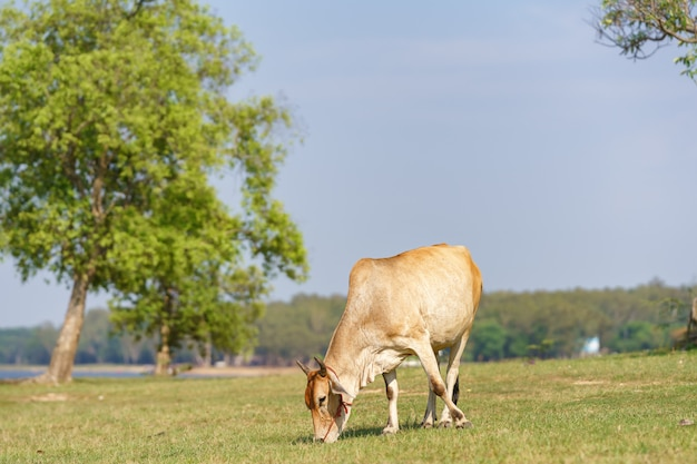 Cow eating grass on the meadow,thailand