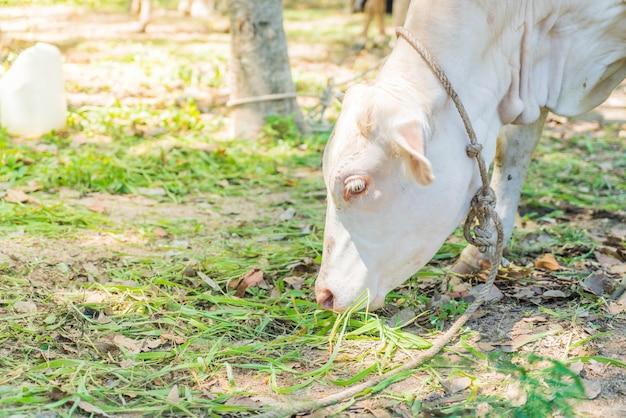 Cow eatting grass