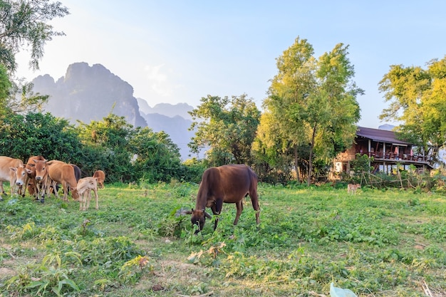 Cow in the empty field, blue sky behind the mountain in vang vieng, north laos
