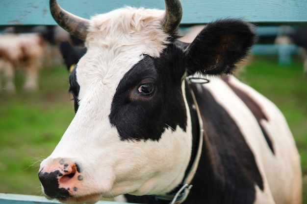 牛の顔をクローズアップ