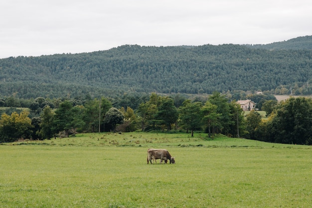 Cow farming alone in a green grass terrace in the countryside